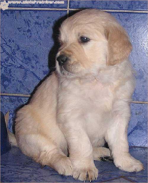 Psi i psići (kinologija, pasmine pasa, obuka pasa, dresura pasa, lovački psi, kućni psi, hranidba pasa, slike pasa, Vaša najdraža pasmina pasa, izložbe pasa, šetanje pasa, kupanje pasa, perilica za pse, hrana za pse) - Page 8 Zlatni10