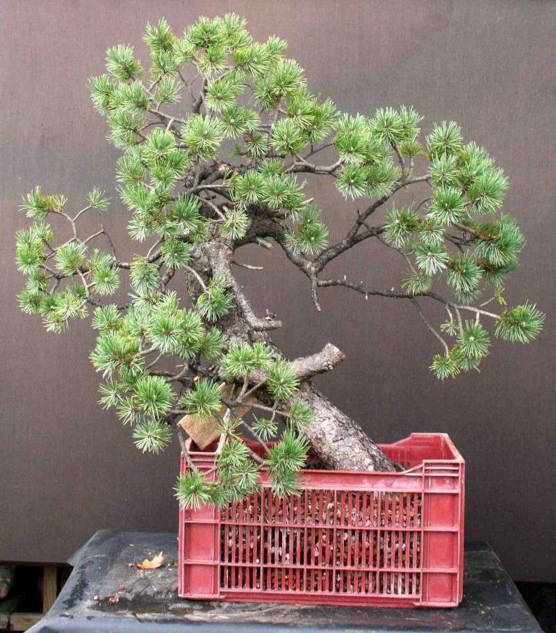 Pinus uncinata in a classic Japanese style  Unc110