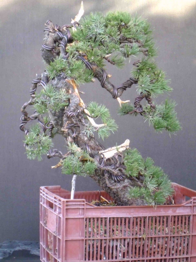 Pinus uncinata in a classic Japanese style  Unc210