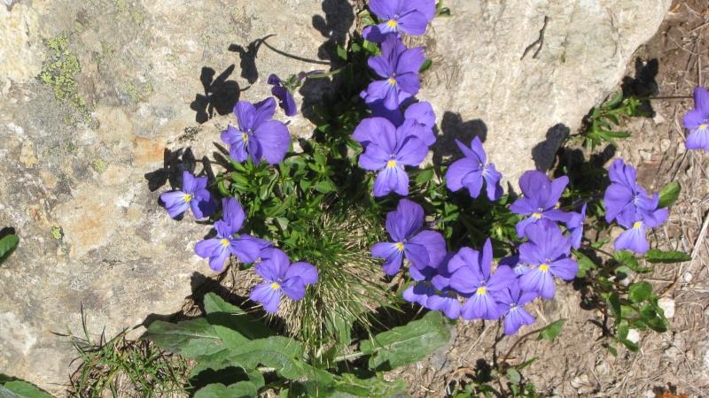 Flore du massif - Page 2 Chamon14