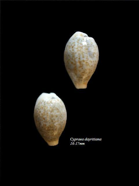 Eclogavena dayritiana - (C. N. Cate, 1963) Cyprae11