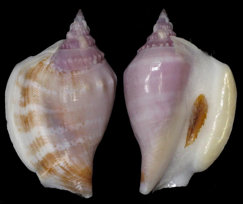 Dolomena dilatata - (Swainson, 1821) Dilata10