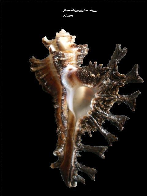 Homalocantha ninae - Merle & Garrigues, 2011 Homalo15