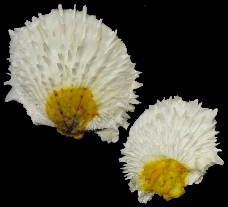 Spondylus varius - G. B. Sowerby I, 1827  S_vari10