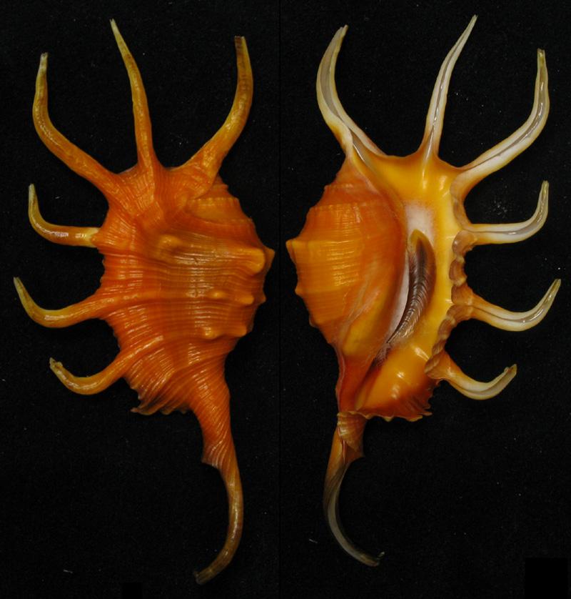 Lambis crocata - (Link, 1807) - Page 2 Scorpi10