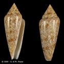 Conus (Cylinder) gloriamaris   Chemnitz, 1777 - Page 4 Gloria10