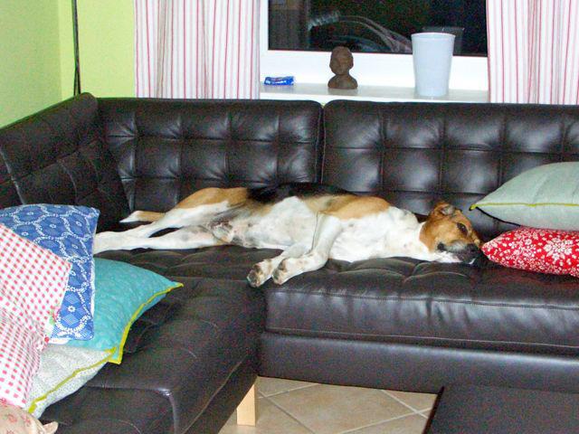 CHOUKA, beagle harrier, 9 ans (86) - Page 2 81326510