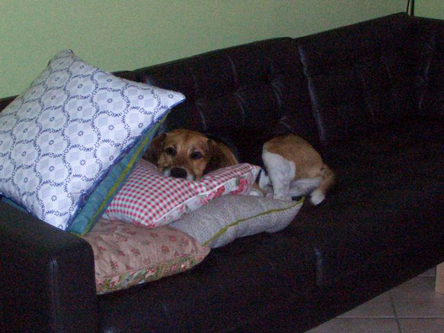 CHOUKA, beagle harrier, 9 ans (86) - Page 2 81326511