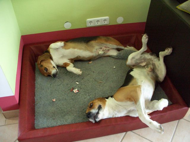CHOUKA, beagle harrier, 9 ans (86) - Page 2 81326512