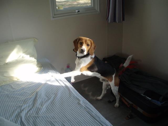FILOU, beagle de 3 ans (59) en FA chez Fabou [Adopté] - Page 3 Chatea12