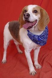 TONUS, beagle né en 2001 (78) Imf_co11