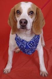 TONUS, beagle né en 2001 (78) Imf_co12