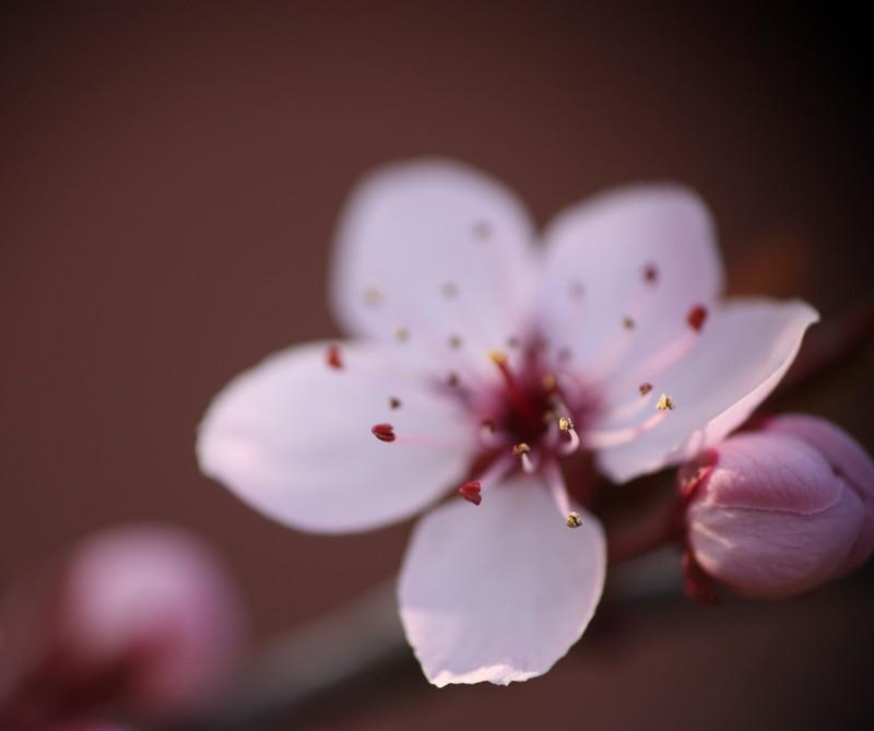 Fleurs de cerisier Img_7110