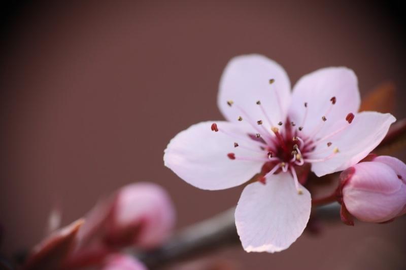 Fleurs de cerisier Img_7111