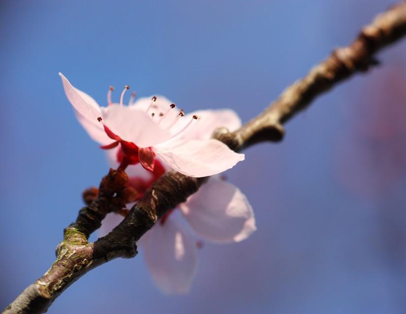 Fleurs de cerisier Img_7114