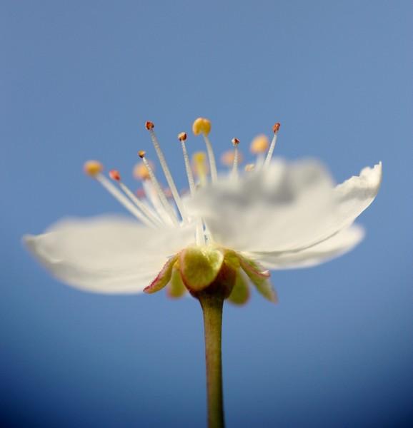 Fleurs de cerisier Img_7118