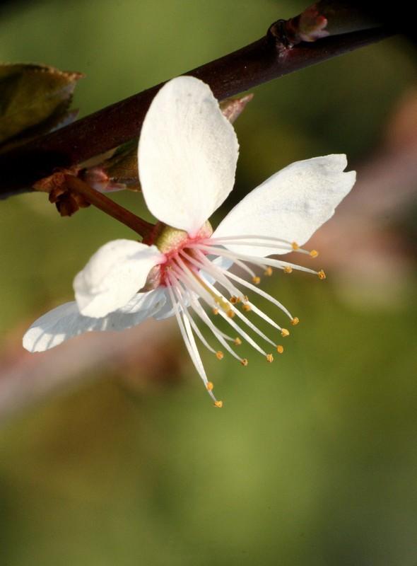 Fleurs de cerisier Img_7120