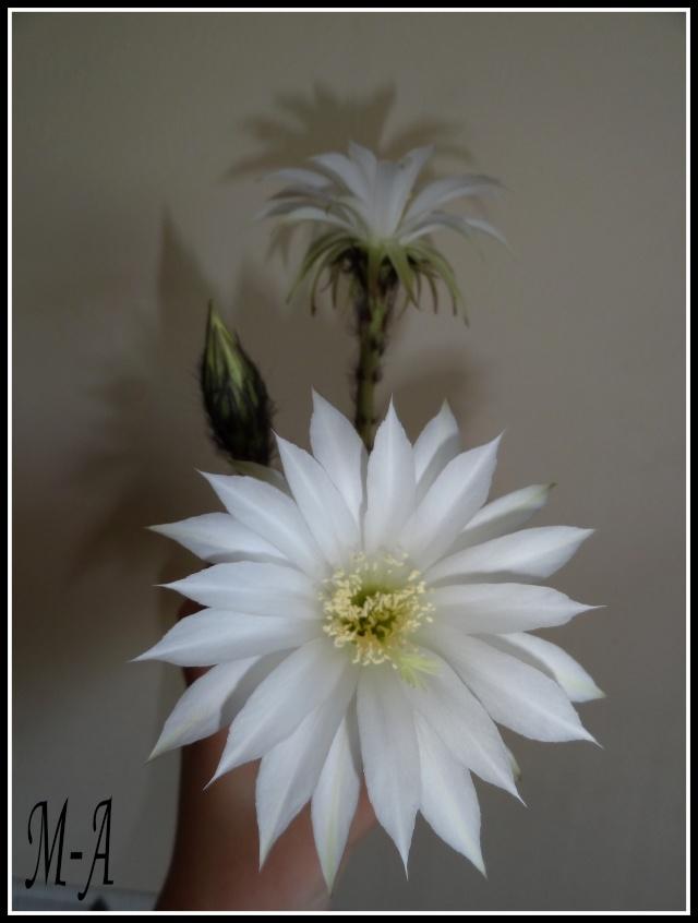 la Star du jour, une nouvelle floraison Dsc09316