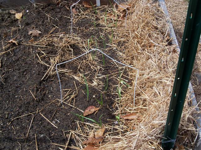 garlic - Mary Mary quite contrary, how does your garlic grow? 04-10-16