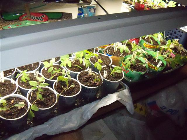 What kind of grow lights for starting tomatoes indoors? 05-05-10