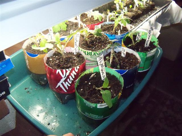 What kind of grow lights for starting tomatoes indoors? 05-05-12