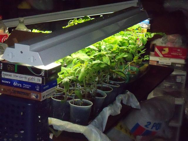 What kind of grow lights for starting tomatoes indoors? 05-13-10