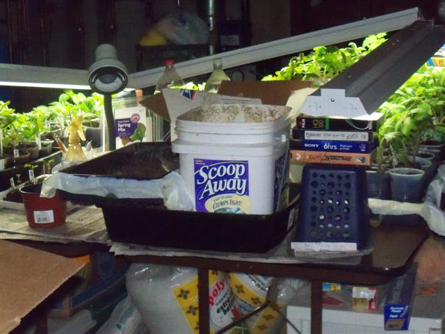 What kind of grow lights for starting tomatoes indoors? 05-16-11