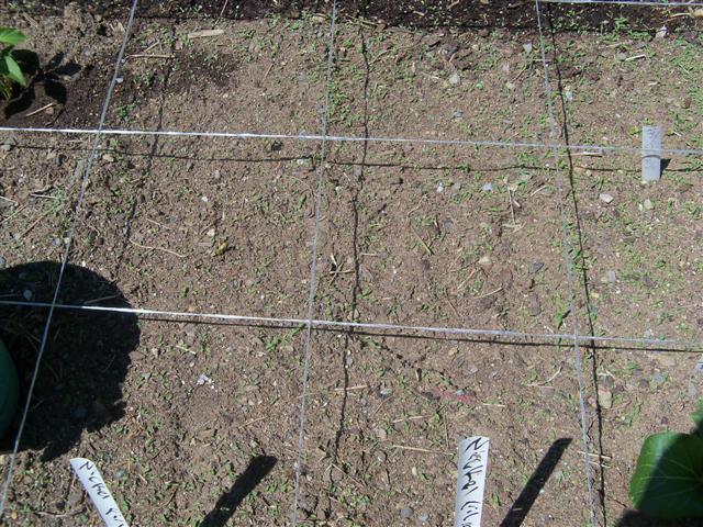 Replant bush bean seeds? 05-19-13