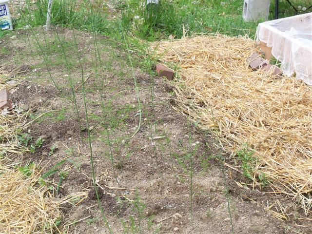 SFG Asparagus? 05-31-12