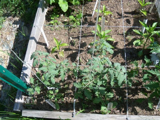 Small Pepper Plants 06-01-11