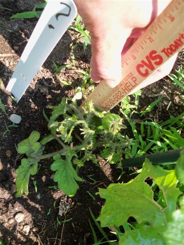 My Tomato Mystery. 06-22-13