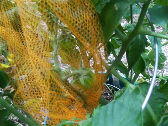 What kind of grow lights for starting tomatoes indoors? 06-28-15