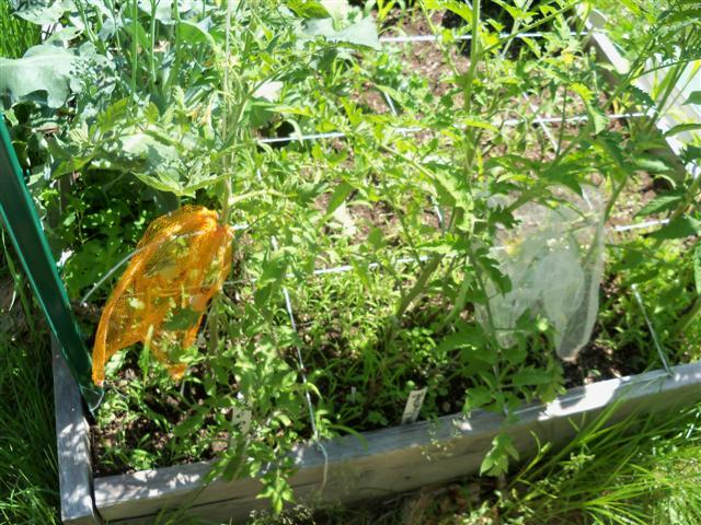 Tomato Depth Experiment.... 07-02-13