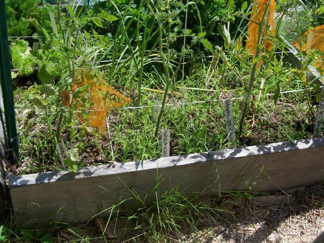 Tomato Depth Experiment.... 07-02-14