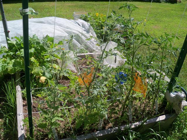 Tomato Depth Experiment.... 07-02-15