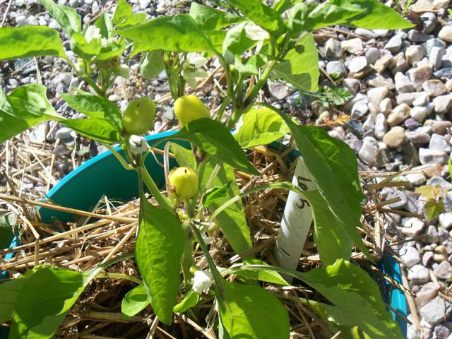 How are everybody's peppers growing this year? - Page 2 07-17-13