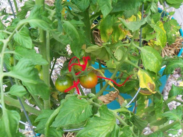 Tomato Tues in New England - Page 3 07-18-13