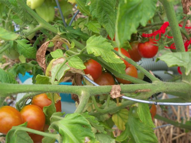 Tomato Tues in New England - Page 3 07-26-10