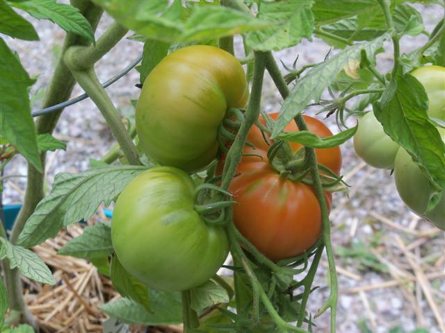 Tomato Tues in New England - Page 3 07-26-12