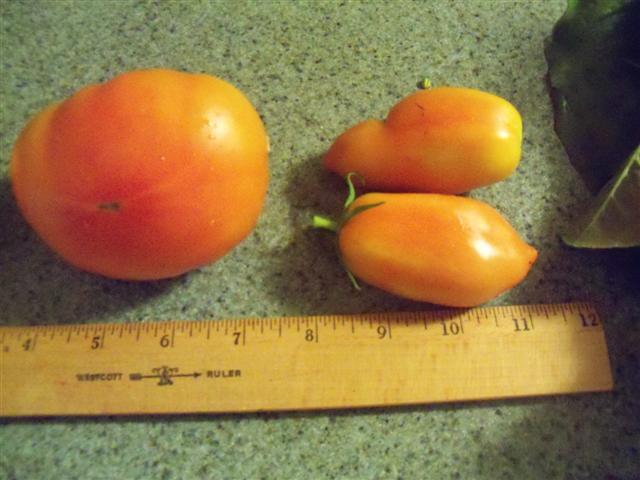 Dwarf tomatoes? 08-02-11