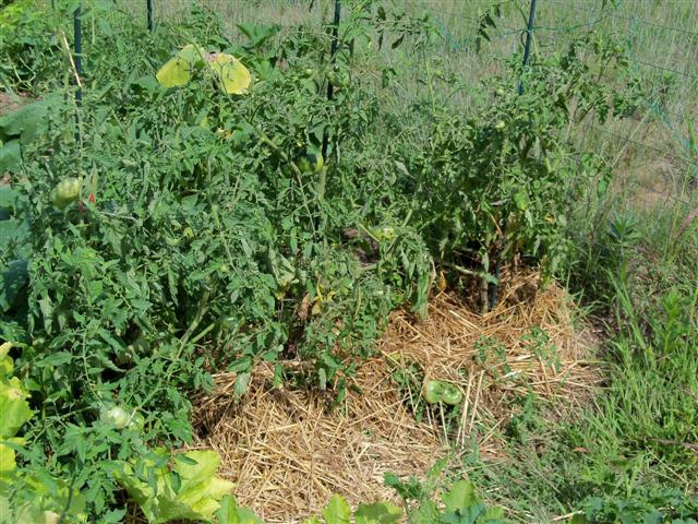When to water tomatoes? 08-06-10