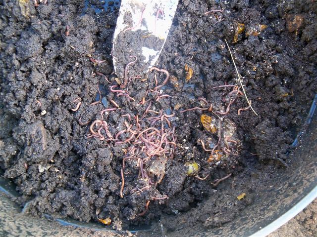 I havested my fall worm compost today! 10-21-10