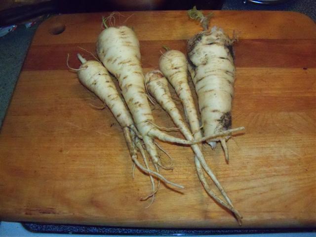Fresh Parsnips for Thanksgiving! 11-22-10