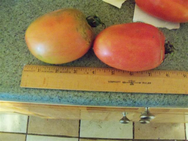 Favorite Tomato Varieties? Carol_10