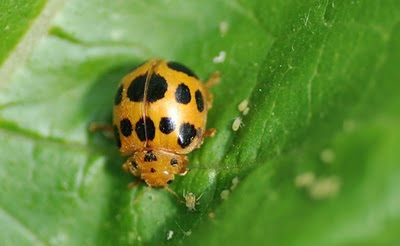 Bad Ladybugs versus Good Ladybugs! Squash10