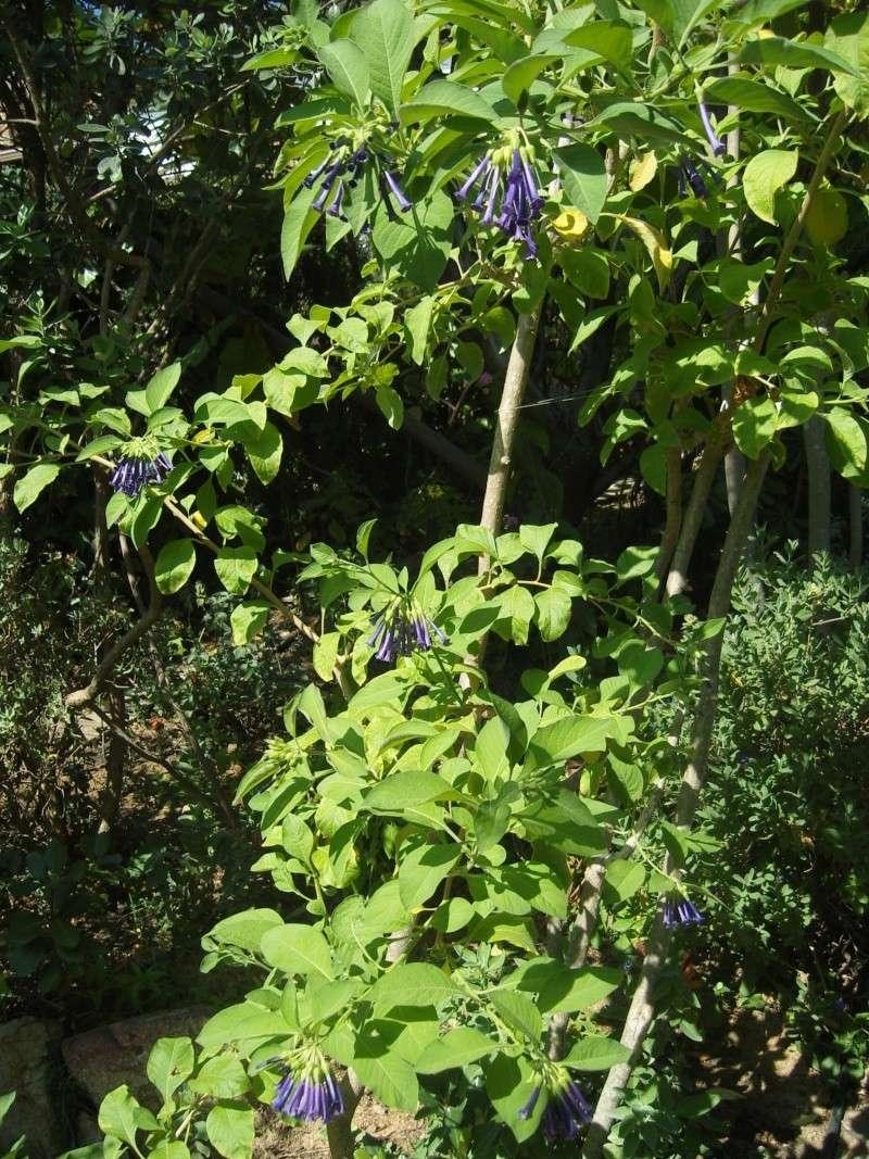 Fleurs de février : Iochroma grandiflora Snv80713