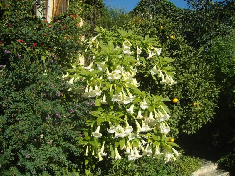 Fleurs de février : Iochroma grandiflora Snv81216