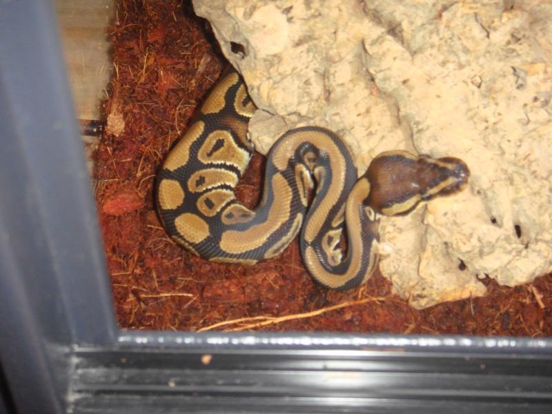 Python Royal Dsc01311