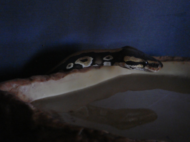 Python Royal Dsc01312
