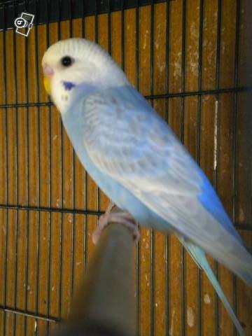 Blue, le plus beau des mecs perruches ! 63722714